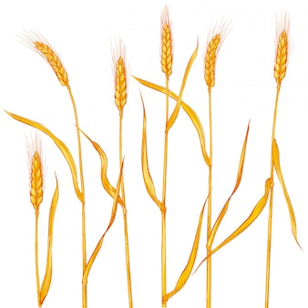 Ears of wheat. cereals harvest, agriculture, organic farming