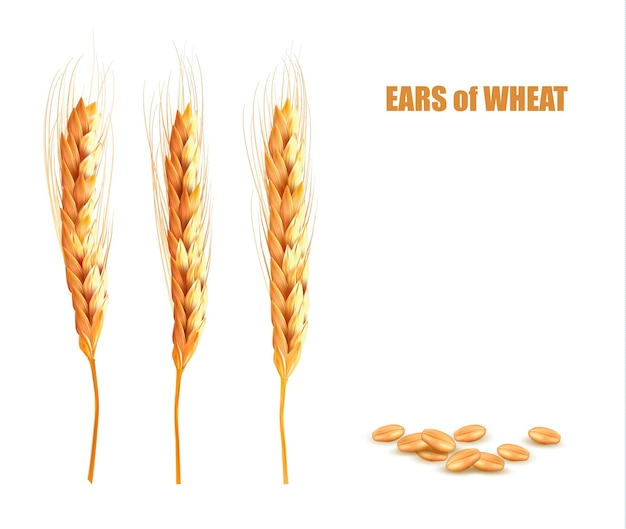 Ears of wheat llustration design isolated