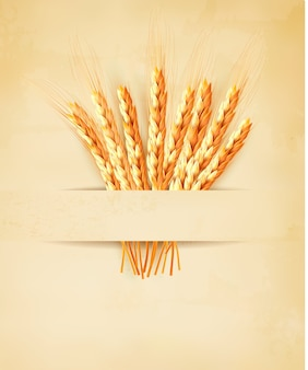 Ears of wheat on old paper background.
