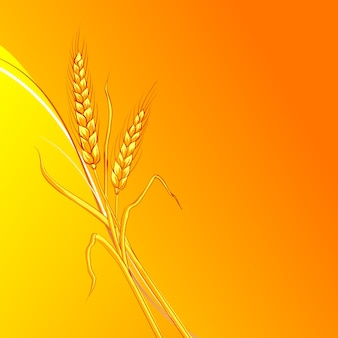 Ears of wheat on orange background.