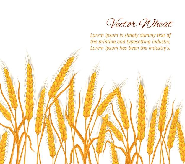 Spighe di grano su sfondo bianco con modello di testo di esempio