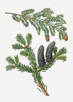 Eastern hemlock tree