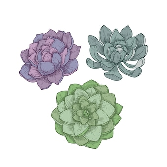 흰색에 echeveria 식물입니다. 장식용 다육 식물의 상세한 식물 도면