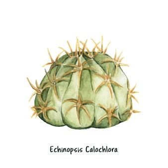 Нарисованный вручную echinopsis calochlora кактус