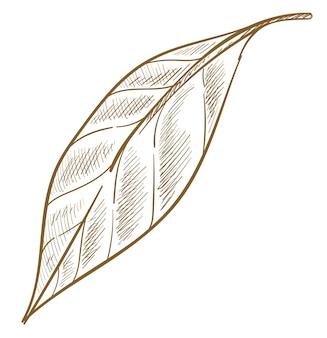 생태 식물학, 식물, 관목 덤불 또는 나무의 고립 된 잎. 여름 또는 봄 시즌입니다. 친환경 제품 및 상품의 로고 또는 엠블럼. 흑백 스케치 개요입니다. 평면 스타일의 벡터