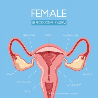 Educate through this beautifully designed uterus anatomy.