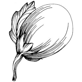 Eggplant, engraving vintage illustration