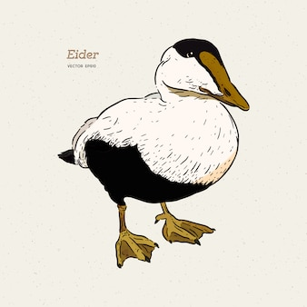 Eider duck is a large sea duck vintage line drawing