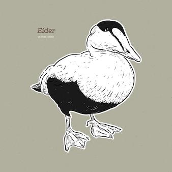 Eider duck - большая морская утка