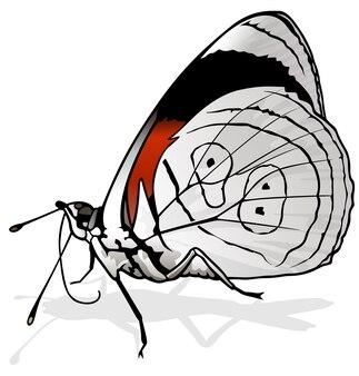 Восемьдесятые бабочки diaethria neglecta