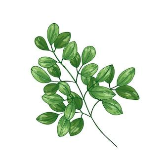 ミラクルツリーまたはモリンガオレイフェラのエレガントな植物画。白い背景で隔離の植物療法で使用される熱帯草本植物。