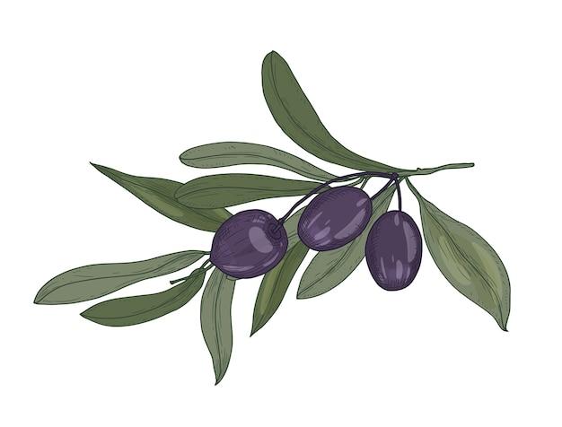 Элегантный ботанический рисунок ветки оливкового или olea europaea с листьями и черными плодами