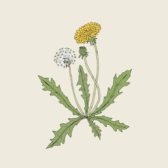 Elegant detailed drawing of dandelion plant with yellow flower, seed head and bud growing on stem and leaves. beautiful wildflower hand drawn in vintage style. botanical illustration.