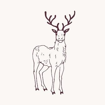 아름다운 뿔을 가진 서 있는 수컷 사슴, 순록, 수사슴 또는 수사슴의 우아한 그림. 밝은 배경에 등고선으로 그린 사랑스러운 야생 반추 동물 손. 로고에 대 한 벡터 일러스트 레이 션.