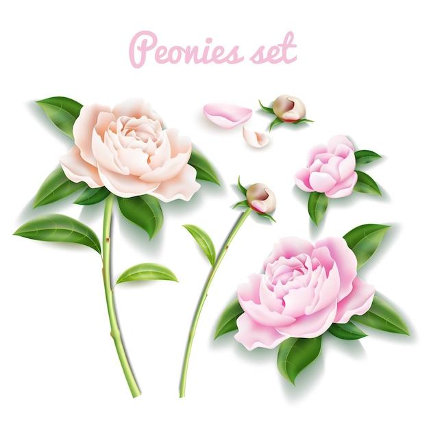 エレガントな牡丹セット。茎、つぼみ、葉と花びらを持つ花を持つリアルなパステルフルフラワー。