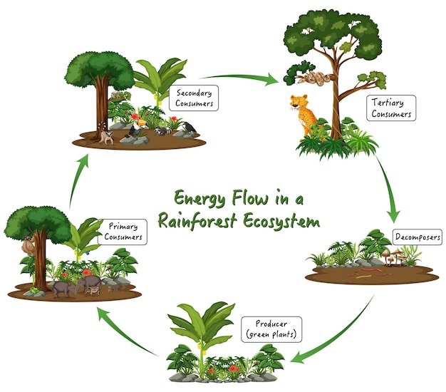 Energy flow in a rainforest ecosystem on white background