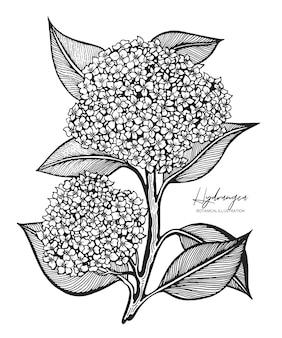 Engraved illustration of hydrangea isolated on white background