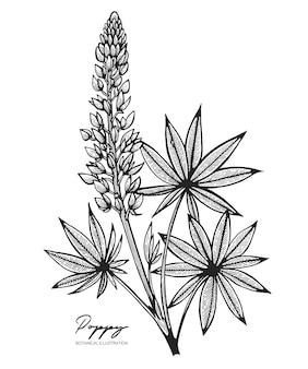 Engraved illustration of lupine isolated on white background