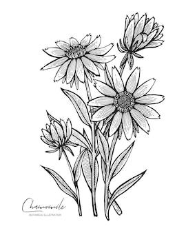 흰색 배경에 고립 된 카모마일의 새겨진 그림 청첩장 인사말 카드 포장지 화장품 포장 레이블 태그 인용 블로그 포스터