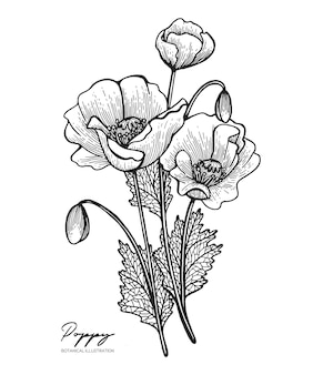 Engraved illustration of poppy isolated on white background design elements for wedding invitations greeting cards wrapping paper cosmetics packaging labels tags quotes blogs posters