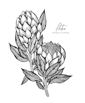 Engraved illustration of protea isolated on white background. design elements for wedding invitations, greeting cards, wrapping paper, cosmetics packaging, labels, tags, quotes, blogs, posters