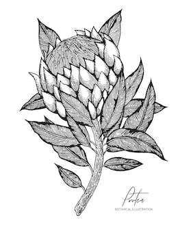 Engraved illustration of protea isolated.