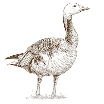 Engraving  antique drawing of goose