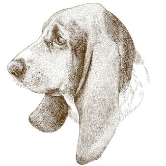 Engraving antique illustration of basset hound head