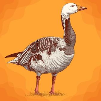 Engraving  antique illustration of goose in retro stile