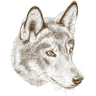 Engraving antique illustration of wolf head