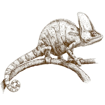 Engraving drawing of chameleon
