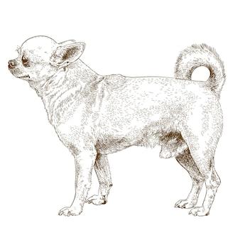 Engraving drawing of chihuahua dog