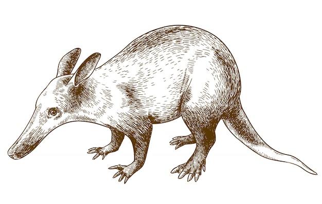 Engraving drawing illustration of aardvark