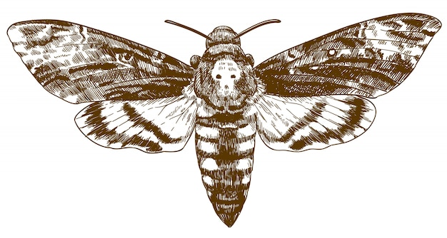 Engraving drawing illustration of african death-head hawkmoth