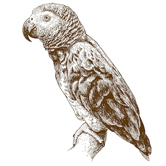 Engraving drawing illustration of african grey parrot