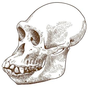 Engraving drawing illustration of anthropoid ape skull