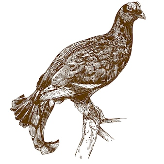 Engraving drawing illustration of black grouse