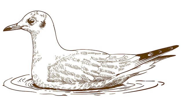 Engraving drawing illustration of black-headed gull