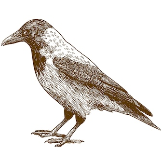 Engraving drawing illustration of crow
