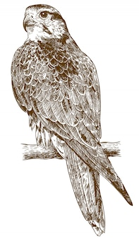 Engraving drawing illustration of falcon