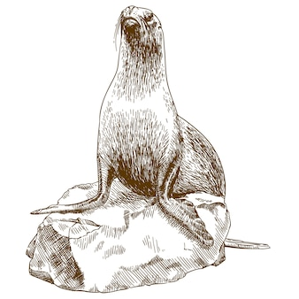 Engraving drawing illustration of female sea lion