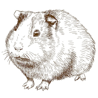 Engraving drawing illustration of guinea pig