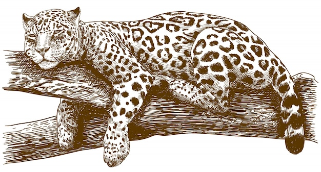 Engraving drawing illustration of leopard on branch