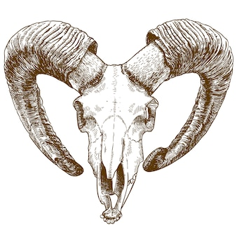 Engraving drawing illustration of mouflon skull