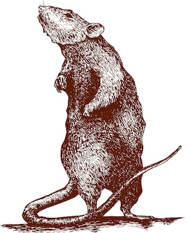 Engraving drawing illustration of mouse chinese new year