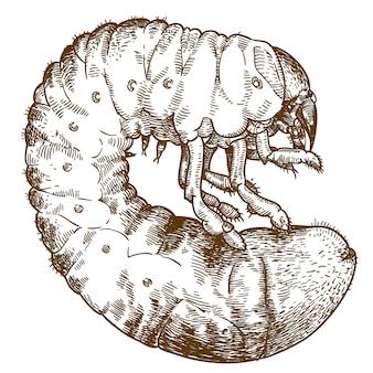 Гравюра рисунок иллюстрации личинки майского жука