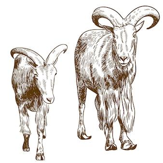 Гравюра рисунок иллюстрации двух горных козлов