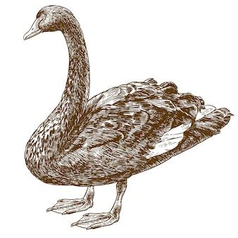 Гравюра рисунок иллюстрации западно-австралийского черного лебедя