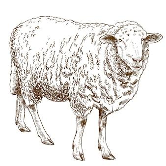 Engraving drawing illustration of sheep