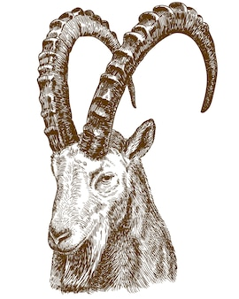 Engraving drawing illustration of siberian ibex